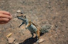 A Brown Squirrel Takes Peanuts From The Hands Of A Woman On Matorral Beach. The Edge Of The Beach Near The City And The Resort Of Morro Jable. Fuerteventura.