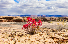 Indian Paintbrush Against The ...