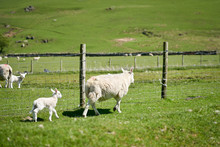 A Ewe And Their Young Lamb On ...