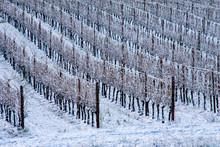 Looking Across A Snowy Vineyar...