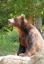 The Kamchatka Brown Bear (Ursu...