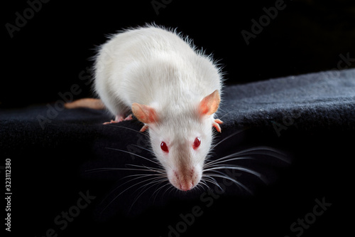 White albino pet rat with red eyes on black background Wallpaper Mural