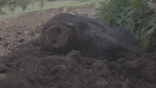 Pig Rowling In Mud