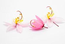 Cassia Bakeriana Craib Flowers
