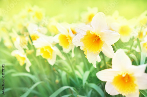 Photographie Spring blossoming yellow daffodils, springtime blooming narcissus (jonquil) flow