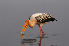 Painted Stork, Mycteria Leucoc...