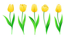 Collection Of Vector Yellow Tulips With Stem And Green Leaves. Set Of Different Spring Flowers. Isolated Tulip Cliparts With Yellow Petals. Tulip Buds And Blooming Flowers. Transparent Background.