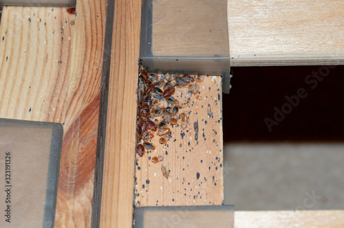 Photo A serious bed bug infestation affecting a residential bedroom where bedbugs developed undetected on the frame of a double bed beneath the mattress under and between the plastic clips of wooden slats