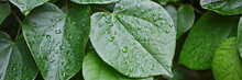 Water Drops On Green Leaves, N...