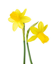 Two Small Yellow  Narcissus Is...
