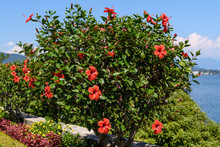 Large And Delicate Vivid Red H...