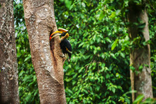 Male Great Hornbill Feeding Th...