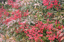 Heavenly Bamboo In The Garden On Winter. Nandina Domestica Bush