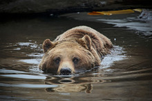 Grizzly Brown Bear Swimming In Lake