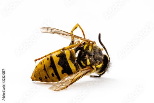 Canvastavla eine tote Wespe vor weißem Hintergrund