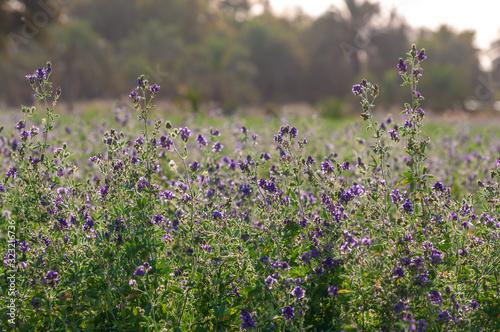 Fototapeta a alfalfa plant farm in iran obraz