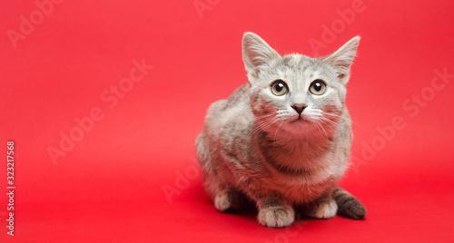 Obraz Gray tabby cat on a red background. Animal portrait. Pet. Place for text. - fototapety do salonu