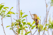 Sedge Warbler Sitting In A Tree Top And Looking