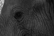 Closeup Of An Elephant