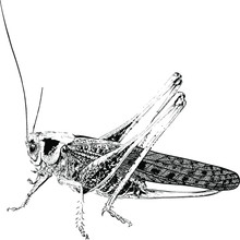 Black Drawn In Detail Insect P...