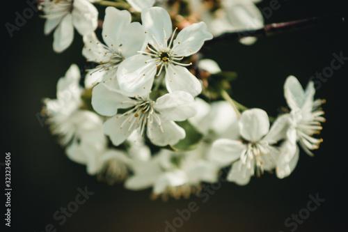 Fototapeta white flowers on a branch obraz na płótnie