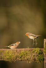 European Robin; Erithacus Rube...