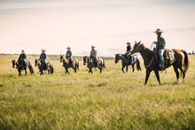 Group Of Cowboys Rounding Up Cows For A Branding. Cody, Wyoming, USA