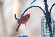 Northern Cardinal On Bird Feeder