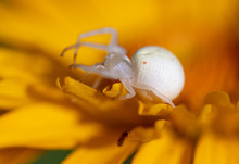 White Spider On A Yellow Flower