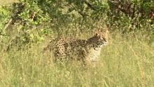 Leopard (Panthera Pardus) Very...