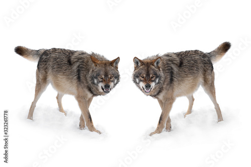 Photo two gray wolf with a grin is isolated on a white background.