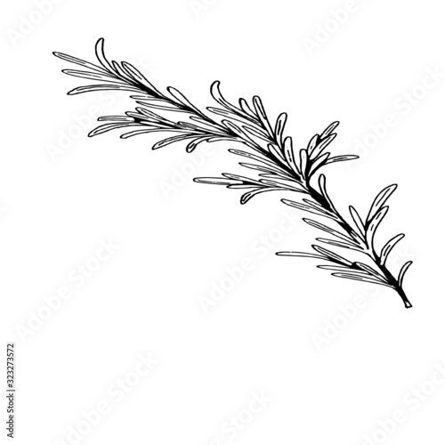 Fototapeta rosemary herb icon symbol vector obraz