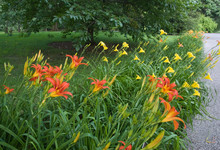 """Daylily Border With Hemerocallis """"Poinsettia In Foreground"""