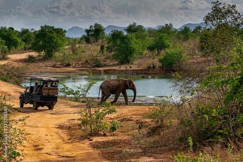 Fototapeta Elephant walking past a Safari Jeep in Udewalawe national park obraz