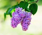 Blossoming lilac branch and green leaves. Shallow depth of field. Selective focus.