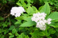 Shrub Of Spiraea Prunifolia Or Bridalwreath Spirea