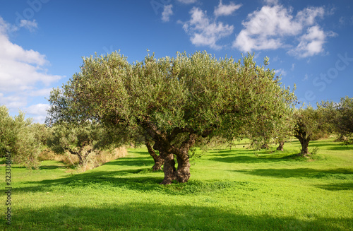 Fotomural Olive grove during the olive harvest season in Greece, Crete, December