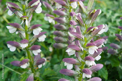 Photo Acanthus mollis or oyster plant purple and white flowers