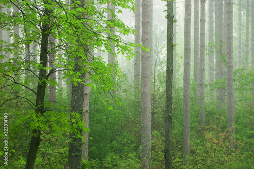 Landscape of spring woodland in fog, Kellogg Forest, Michigan, USA