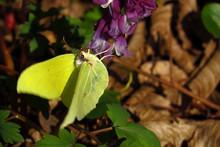 Brimstone, Gonepteryx Rhamni O...