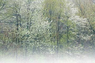 FototapetaFoggy spring landscape of forest in bloom, Michigan, USA