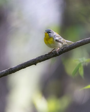Northern Parula Warbler On Tree Branch In Forest