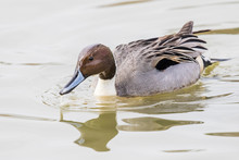 A Northern Pintail Swims By Be...