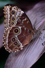 Closeup Of A Blue Tropical Mor...