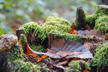 Wet Moss Covered Rotting Tree ...