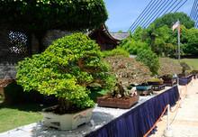 Bonsai Tree Display For Public...