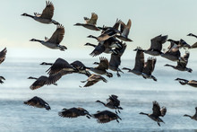 Flock Of Canadian Geese Leavi...