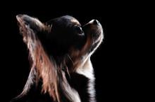 Head Silhouette Portrait Of A Chihuahua