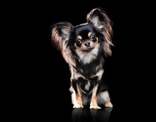 Sitting Long Haired Chihuahua In Black Studio