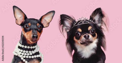 Fotografia Two little dogs wearing jewellery head shot